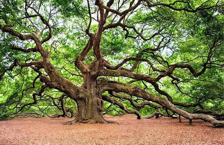old huge tree