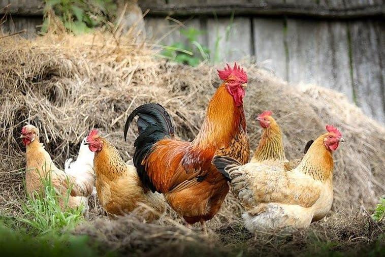happy chicken,